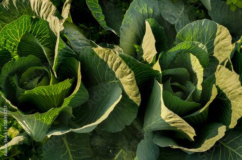 Photo  Weisskraut Köpfe schön gewachsen frisch und grün in der Morgensonne auf dem Feld