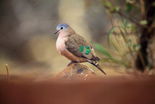 The Emerald-spotted Wood Dove (Turtur Chalcospilos) Sitting On The Stone With Colorful Background. A Dove With Green Feathers On Its Wings Sits On An Ocher Stone.