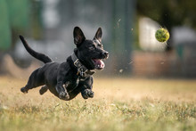 Dog Flying After The Ball