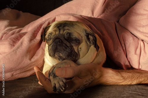 cute dog breed pug sleep with owner in the bed Canvas Print