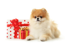 Pomeranian Dog With Gift Boxes...