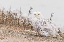 Snowy Owl By Water