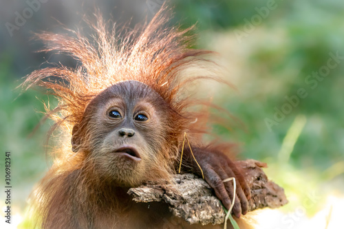 Orang-Utan baby playing with a stick