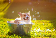 Funny Red Corgi Dog Puppy With...