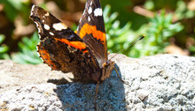 Vanessa Cardui Is A Well-known Colourful Butterfly, Known As The Painted Lady