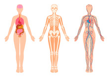 Human Body Internal Organs, Sk...