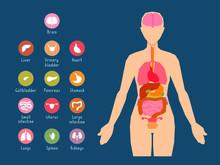 Major Human Body Internal Orga...