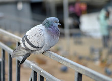 City Lonely Pigeon Dove Sits O...