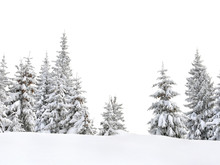 Fir Trees Covered Snow In Winter Spruce Forest On White Background With Space For Text