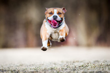American Staford Terrier Jump In High Speed. Dog Run Or Fly In Front Of Camera.