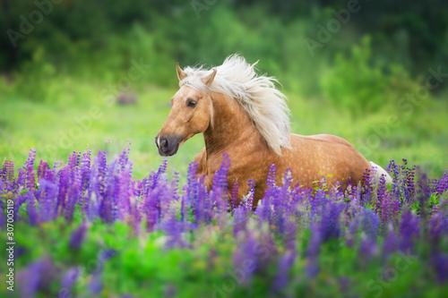 Obraz Koń z długą grzywą galopuje w łubinowych kwiatach - fototapety do salonu