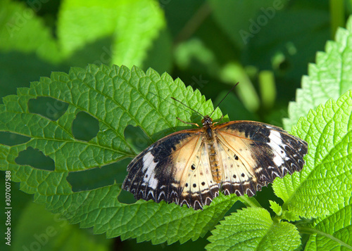 A leopard lacewing butterfly, Cethosia cyane, on green vine with wings fully extended. Female.