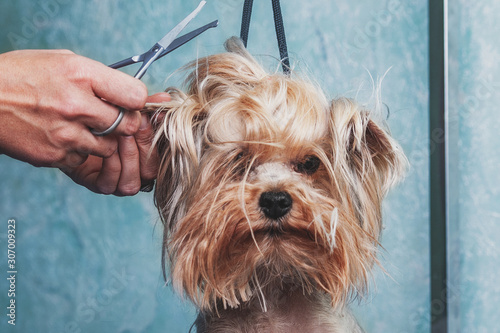 Foto woman hand Grooming Yorkshire terrier dog