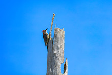 Red-bellied Woodpecker On Dead Tree Stump Against Blue Sky, Florida