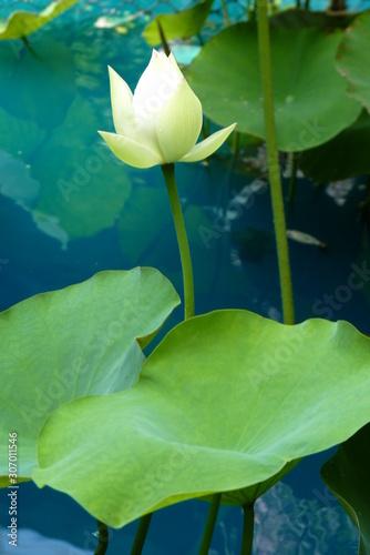 Photo Lotus Blanche