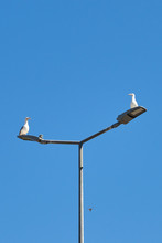 Love Date Of Two Gulls On A La...