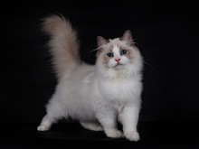 Kitten Ragdoll Cat Standing With His Tail Up, Facing Front, Isolated On A Black Background