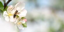 Honey Bee Is Collecting Pollen...
