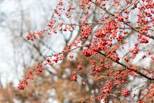 """Sugar Tyme"" Crabapple Fruit In Winter"