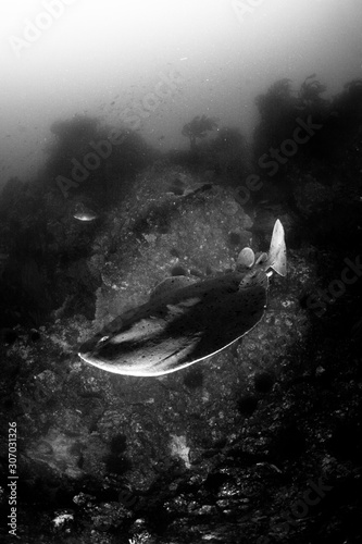 Handheld. Pacific Electric Ray or Torpedo californica.  Photographed underwater at Farnsworth Bank offshore Catalina Island of the Channel Islands, CA.