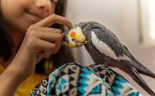 Girl Petting A Pet Cockatiel Bird Showing Love