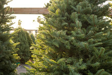 A View Of Several Fresh Green Christmas Trees On Display At A Local Tree Lot.
