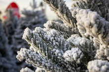 A Closeup Of Leaves And Branches Of A White Flocked Christmas Tree At A Tree Lot.