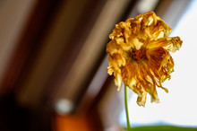 Underside View Looking Up Into A Wilted Yellow Dahlia With Drooping Petals