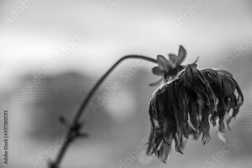 Photo  Black and White side view of wilted yellow dahlia with drooping petals