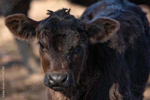Photo Young black Angus calf portrait