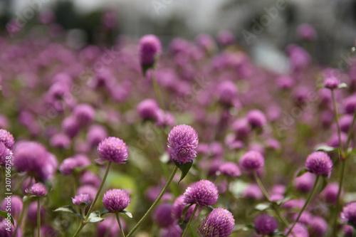 Fototapeta Close up view of beauty meadow bunga kenop or Gomphrena globosa, a herb flowers botanical plant trees leaves good for health