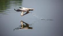 Reflection Of A Pelican Bird