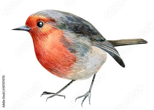 robin-birds-na-bialym-tle