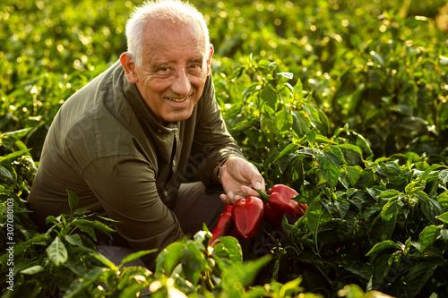 Fototapeta Senior farmer walking in paprika field examining vegetables.