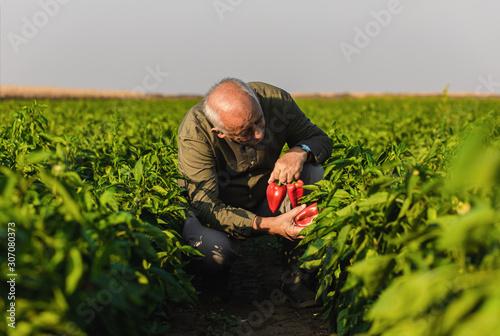 Foto Senior farmer walking in paprika field examining vegetables.