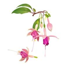 Fuchsia Flower Vector Illustration. Floral Botanical Element For Design
