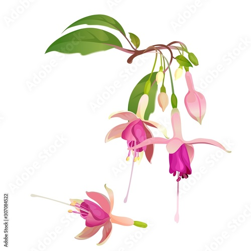 Fototapeta Fuchsia flower vector illustration