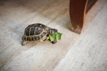 Trachemys Eating Leaf And Craw...