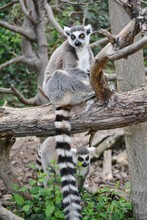 A Ring-tailed Lemur In The Zoo