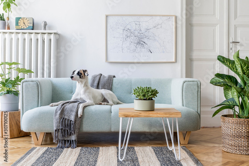Fototapeta Stylish scandinavian living room interior of modern apartment with mint sofa, design coffee table, furnitures, plants and elegant accessories. Beautiful dog lying on the couch. Home decor. Template. obraz na płótnie