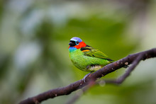Close Up Of A Red-necked Tanager, Side View, Perched On A Branch Against Defocused Background, Folha Seca, Brazil