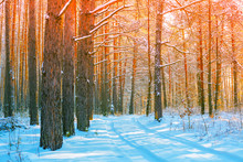 Snowy Forest On A Sunny Day.  Pine Trees Covered With Snow. Winter Nature. Nature Winter Background. Christmas Background