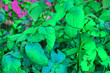 Leinwandbild Motiv Turquoise and green, pink large autumn raspberry leaves, branches, volumetric shrubs.
