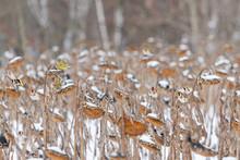 Songbirds In Winter Eat Sunflower Seeds