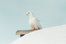 White Pigeon Sits On A Snowy R...
