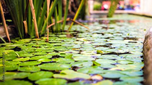 Deurstickers Waterlelies water green lily in a pond.