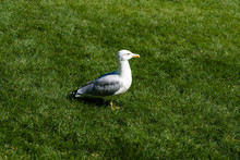 Adult Big White Gray Bird Seag...