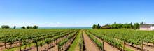 Vineyard On Tha Lake Shore Of ...
