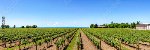 Fototapeta Vineyard on tha lake shore of Niagara on the lake