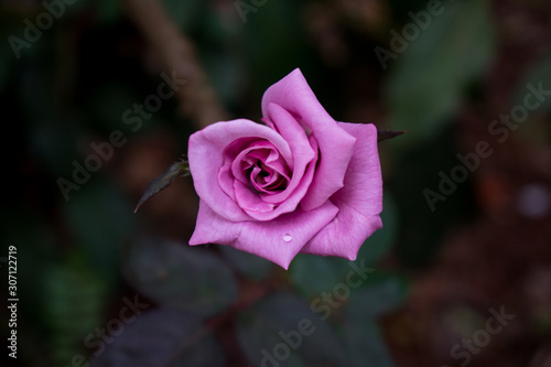 Beautiful pink rose with background blur